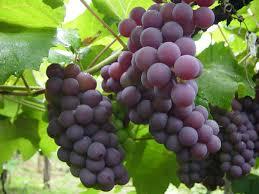 uvas y dieta